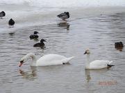 Продаём лебедей: черные былые и черношейные