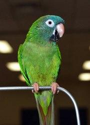Аратинга острохвостый (Aratinga acuticaudata)- птенцы возрастом от 3, 5