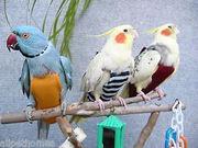 Прогулочный костюм памперс для любого попугая