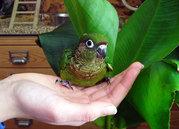 Попугай пиррура выкормыши  домашнего разведения для разговора