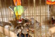 Мініатюрні пташки Зеброві амадини