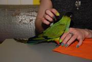 Полностью ручные птенцы красавцы амазоны,  амазонский попугай