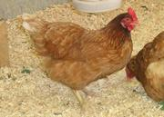 Продам цыплят несушек Редбро и Мастер Грей