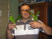 Птенцы выкормыши карликового ары.
