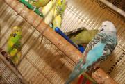Выставочный волнистый попугай ЧЕХ – лучший говорун. В наличии птенцы р